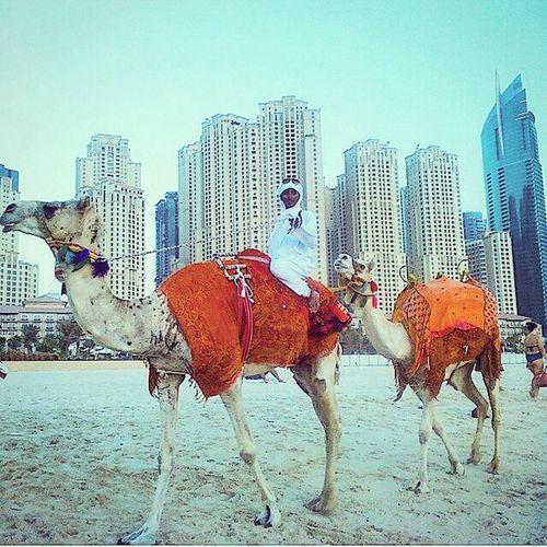 Dubai Holiday Traveling Camel