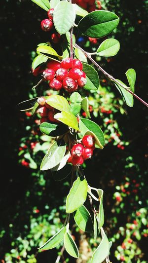 Christmas is July Tree Fruit Red Leaf Close-up Plant Green Color Food And Drink Growing Hanging