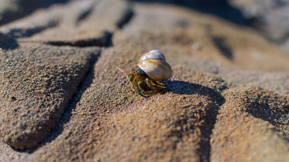 Animal Shell Animal Themes Animal Wildlife Animals In The Wild Beach Close-up Day Hermit Crab Nature No People One Animal Outdoors Sea Life Wildlife