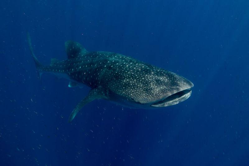 Animal Animal Wildlife Animals In The Wild Fish One Animal Sea Life UnderSea Underwater Whale Shark