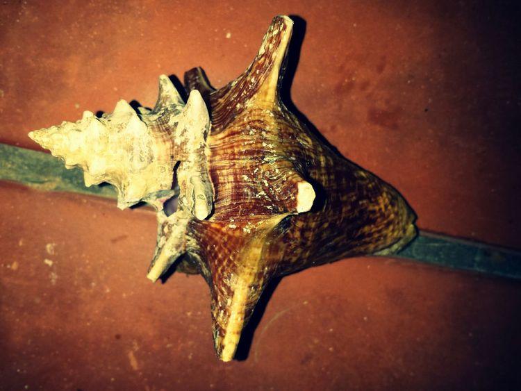 Shell ? Caparazon Sea ? Mar Caracol Seaanimal