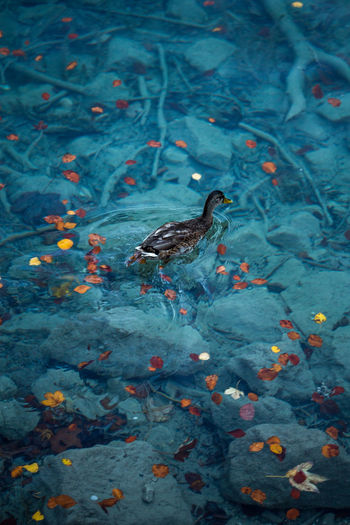 Animal Themes Animal Animals In The Wild Animal Wildlife Vertebrate Water One Animal Swimming Bird Lake Nature High Angle View No People Day Poultry Outdoors Side View Duck Floating Floating On Water Autumn Fall Clean Blue Beauty In Nature Capture Tomorrow My Best Photo