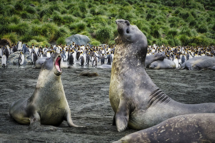 """""""Bravery"""" - Elephant Seals doing battle Gold Harbor, South Georgia Island Animals In The Wild Nature Photography South Georgia Animal Themes Animal Wildlife Elephant Seals Fighting Large Group Of Animals Mammal Nature No People Outdoors Penguins"""