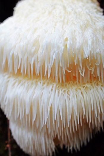 Bear's Head Tooth Fungus