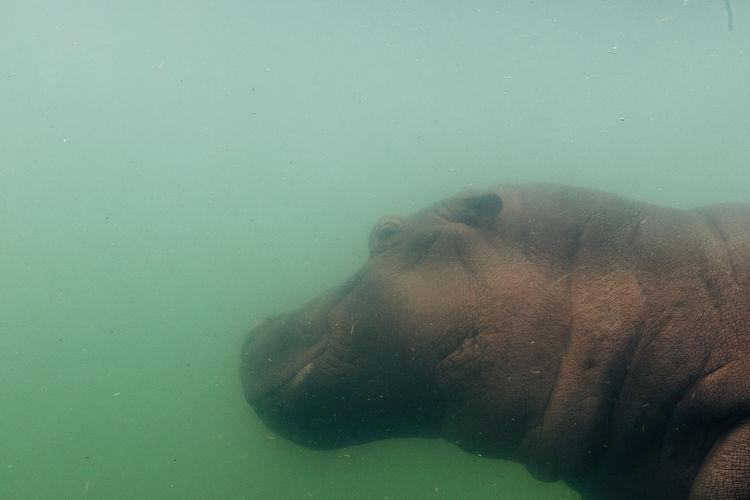 Close-up of hippopotamusswimming underwater