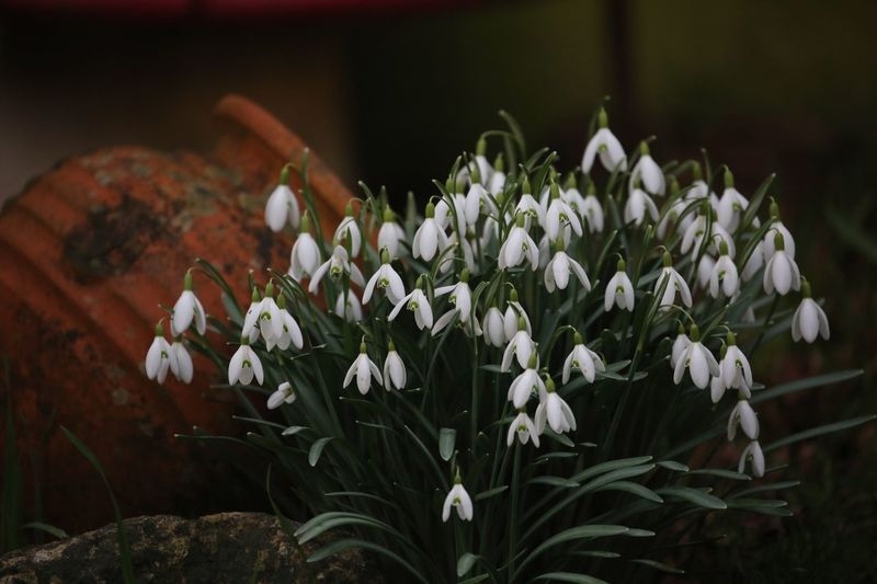 The snowdrop is a relief flower, it relieves us of winter. Snowdrops Flowering Plant Flower Freshness Plant Fragility Vulnerability  Beauty In Nature Growth Petal Flower Head White Color Inflorescence Close-up Nature No People Focus On Foreground Botany Day Plant Part Leaf