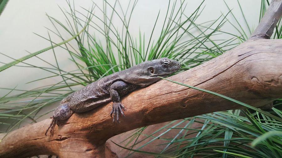 Iguana On Tree At Zoo