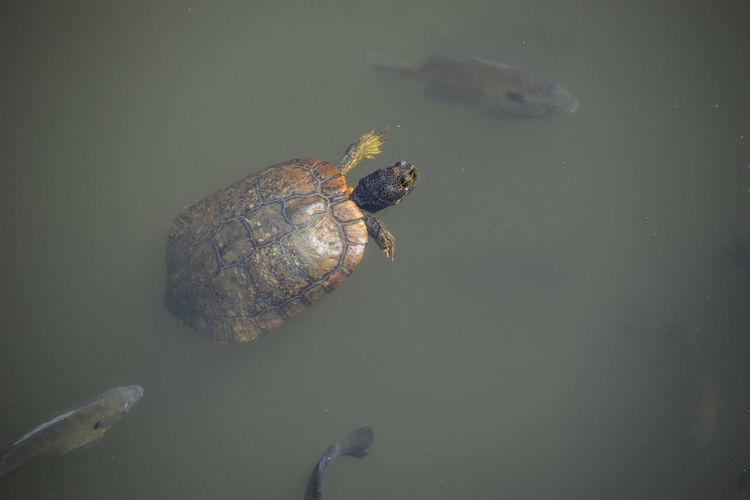Fish Reptile Surface Level Swimming Turte Turtoise Water
