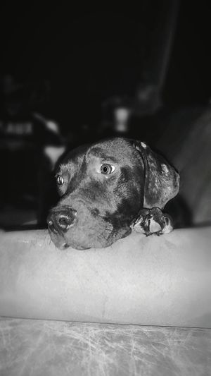 Hanging Out Taking Photos Check This Out Hi! Relaxing Enjoying Life EyeEm Gallery Friends Mans Best Friend Dog Canine Mixed Breed Black And White Photography Home Inquisitive Looking Away Dog PortraitPets Domestic Animals Dogs Of EyeEm Alert Dog Living Room Sofa Dog On Couch Dog On Chair