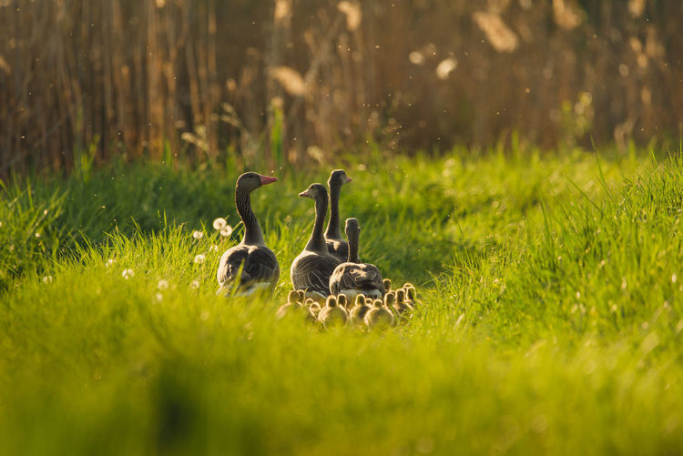Animal Group Of Animals Plant Animal Themes Animals In The Wild Field Grass Vertebrate Animal Wildlife Young Animal Land Green Color Selective Focus Bird Nature No People Gosling Goose Young Bird Day Animal Family Outdoors Cygnet Greylag Goose Geese Geese Family