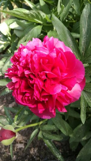 Flower Nature Petal Growth Beauty In Nature Plant Pink Color Flower Head Fragility Freshness No People Red Day Outdoors Blooming Peony  Close-up
