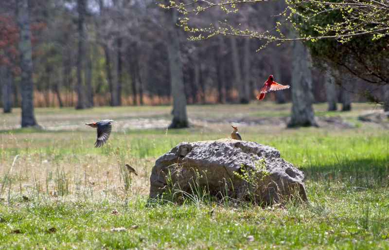 There is a woodpecker on a large rock with another woodpecker and a male cardinal flying away. Red Bellied Woodpeckers Cardinal Trees Beauty In Nature Bird Day Flight Flying Bird Full Length Large Rocks Nature Outdoors People Tree