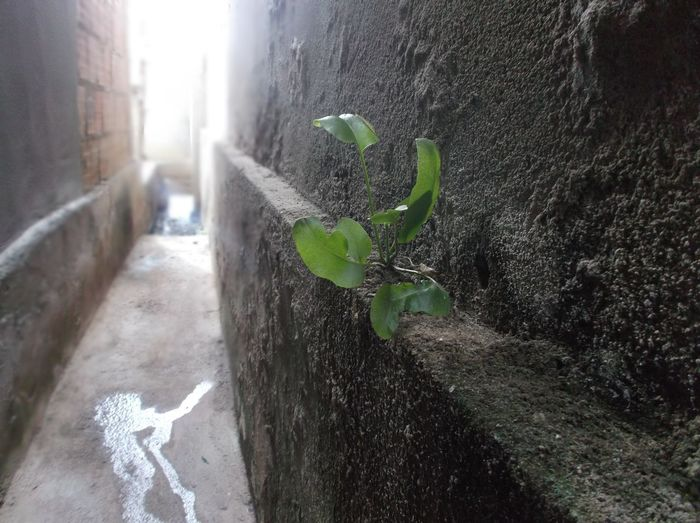 Perspectives On Nature Plant Wall Alleyway Fight For Life Fragility Green Color Growth Nature Plant Plant On The Wall