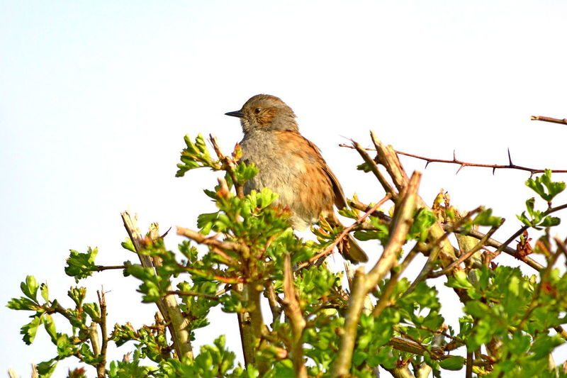 Dunnock or Hedge Sparrow, also known as Hedge Accentor, a Passerine, and Hedge Warbler. Dunnock Prunella Modularis Bird Hedge Accentor Hedge Sparrow Hedge Warbler Nature Outdoors Passerine Perching Sparrow Tree