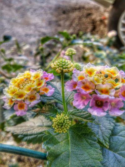 Flower Beautiful