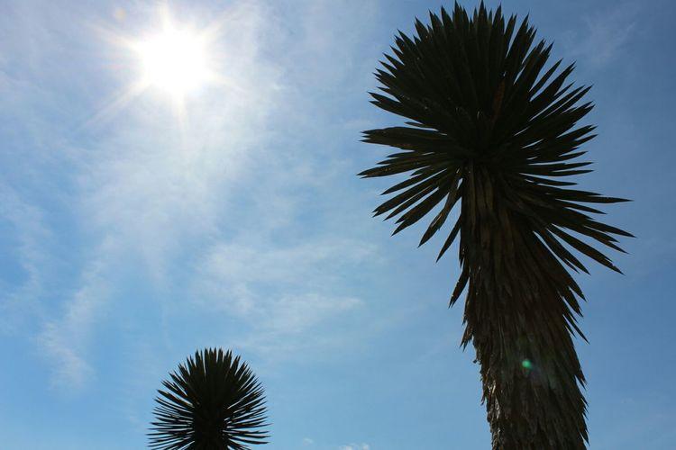 """Calor"" Sun Blue Cloud - Sky Cactus Paradise Low Angle View Nature"