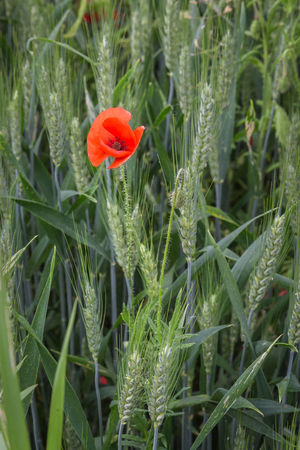 Cereal Plant Cornfield EyeEm Best Shots Focus On Foreground Freshness Green Color High Angle View Landscape Nature_collection Outdoor Photography PoppySeed Red Color Red Flower Summer Sunlight