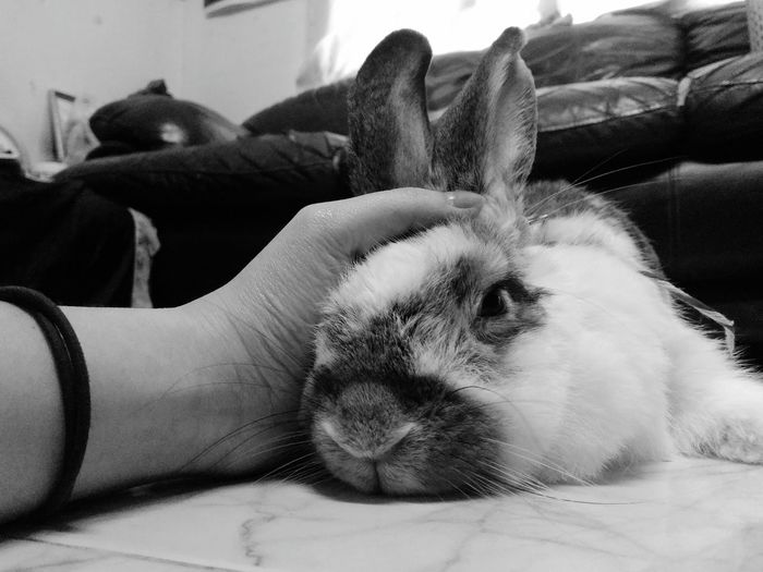 Cropped Hand Petting Rabbit Lying On Floor At Home