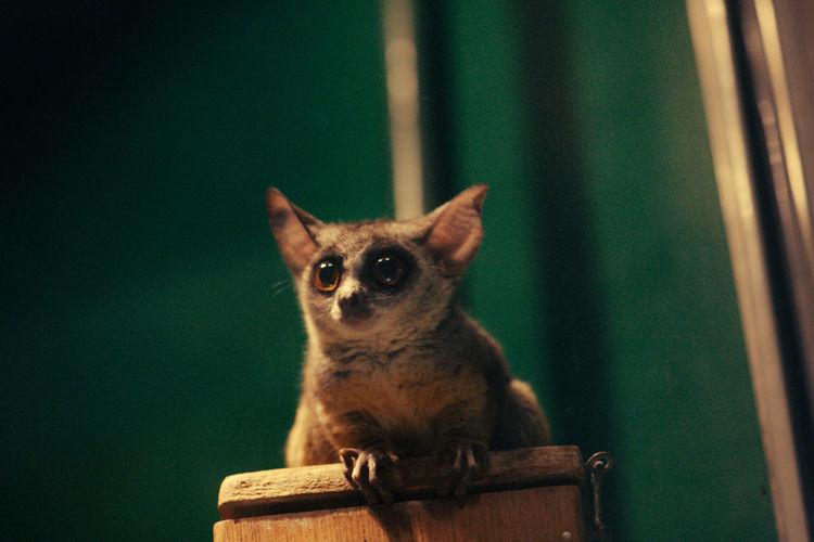 Close-up of lemur on wood