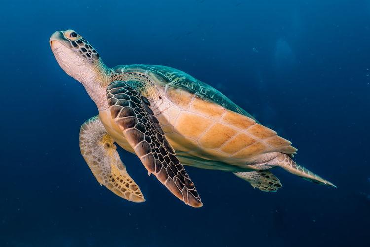 Hawksbill sea turtle in the red sea, dahab, blue lagoon sinai a.e