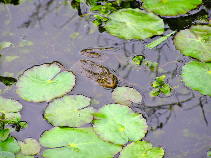 Amphibian Animal Animal Themes Beauty In Nature Close-up Day Fauna Floating On Water Fragility Freshness Frog Frog Green Color Growth Leaf Lily Pad Nature No People Outdoors Plant Toad Water Water Lily Wild Wildlife