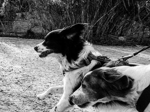 Today, jogging alongside our Brittanyspaniels using the burst function on an old Sonycybershot . Dog leads in right hand, camera at knee level on left hand Brittanyspanielsofinsta Rescuedogs Americanbrittany Brittanyspaniel Dogsofinstagram Dogsofinsta Dogs Rescuedog Blackandwhite Blackandwhitephotography Bnw Bnwlife Bnw_maniac Monochrome Mono