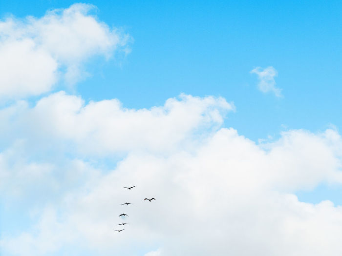 Animal Animal Themes Animal Wildlife Animals In The Wild Bird Blue Cloud - Sky Day Flock Of Birds Flying Group Of Animals Large Group Of Animals Low Angle View Mid-air Nature No People Outdoors Sky Tranquility