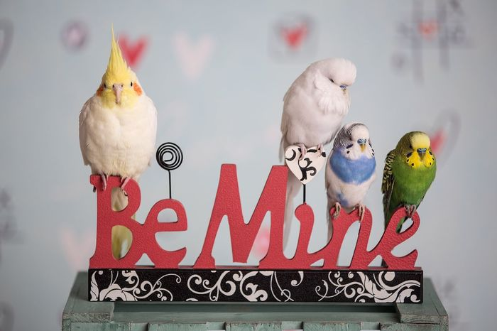Bird Text Be Mine Animal Themes No People Close-up Perching Indoors  Day Budgies