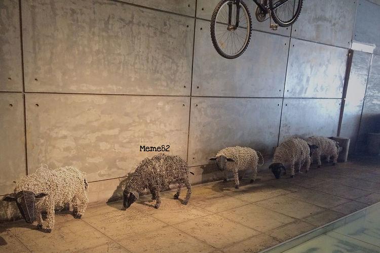 Herd_sheep تصويري  رحلة_دبي