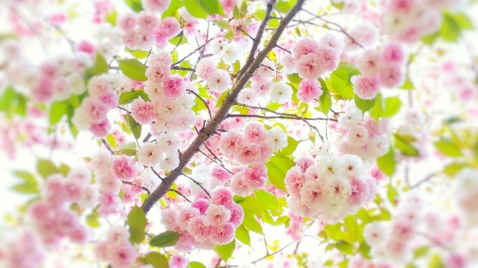 ボンボン桜 Boke Cute Natural Photo Morning EyeEm Nature Lover Spring Japan Flower Sakura Spring Flowers Flowers