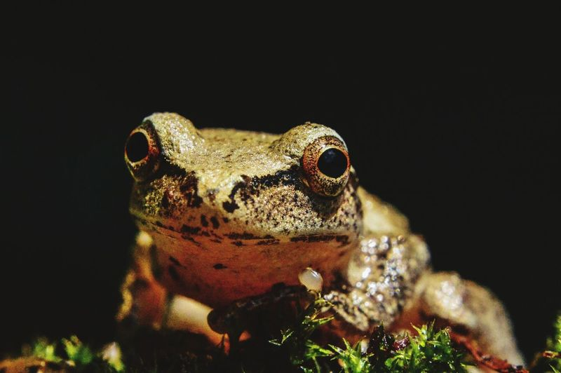 Close-Up Of Frog Staring Against Black Background