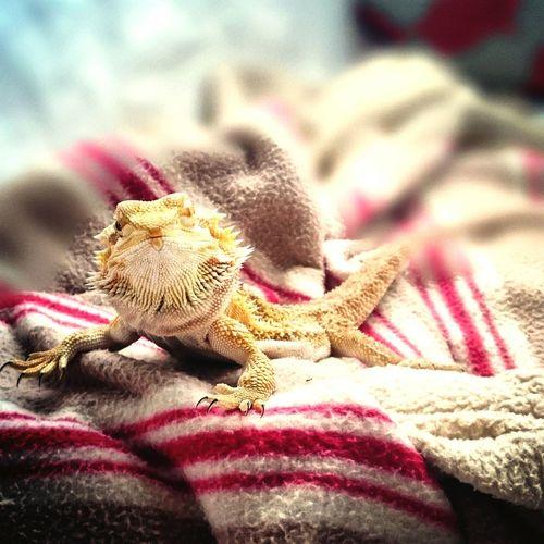 Tetzuo Lizard I Love My Pet