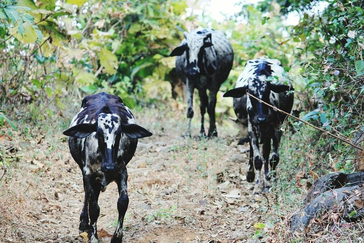 c'mmon we are late Cow Cows Canon Canonphotography Canon_photos India Canon1100d Animal Mammal Animal Themes Agriculture Domestic Animals Outdoors Animal Wildlife Nature No People Animals In The Wild Rural Scene Day