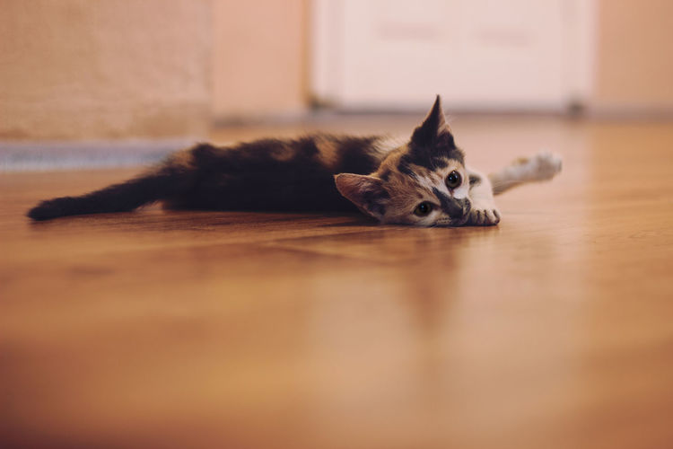 Animal Themes Close-up Day Domestic Animals Domestic Cat Full Length Home Interior Indoors  Lying Down Mammal No People One Animal Pets Selective Focus