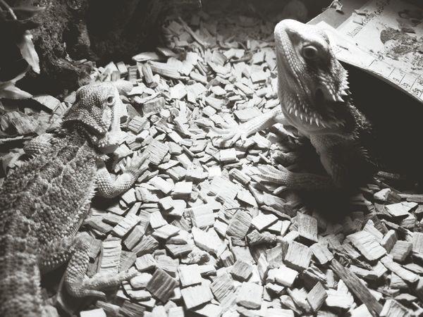 Tetzuo Akira Lizards Blackandwhite Photography