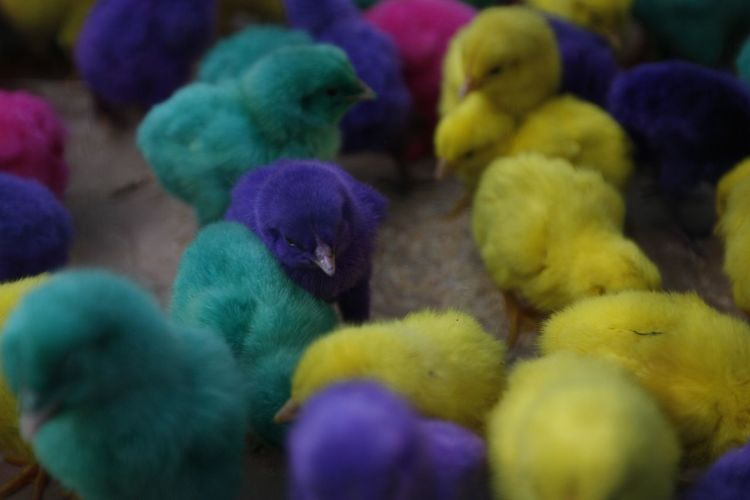 Colorful chickens in Indonesia. Bird Animal Themes Animal Group Of Animals Young Bird Young Animal Vertebrate Large Group Of Animals Multi Colored No People Baby Chicken Close-up Fluffy Animal Wildlife Yellow Selective Focus Chicken - Bird Domestic Animals Day Indoors  Softness Purple