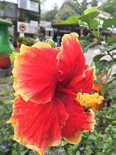 Hibiscus Malaysia National Flower Petal Freshness Close-up Beauty In Nature Blossom Vibrant Color Stamen Nature Single Flower Bee Pollen Red And Yellow Botany Freshness Penang Check This Out