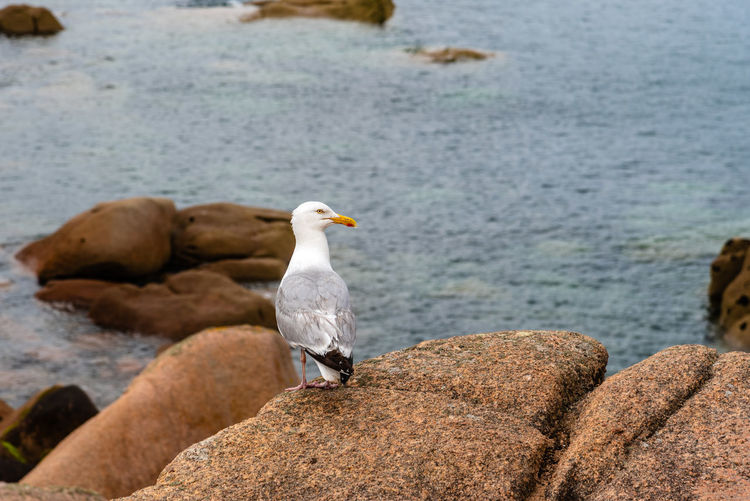 Seagull on rocks at coastline Nature Day Outdoors Brittany France Bird Animal Themes Vertebrate Animals In The Wild Animal Wildlife Animal Perching One Animal Rock Rock - Object Solid Seagull No People Côtes D'Armor Seabird Rocks Cliff Coast Coastline Water Sea Focus On Foreground