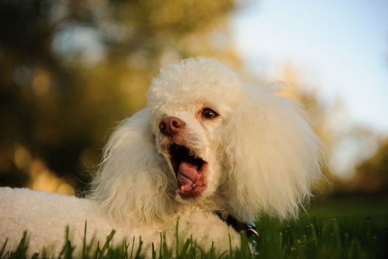 Grass Plant Animal Themes Canine Clean Close-up Dog Domestic Animals Mammal Mouth Open No People One Animal Outdoors Park Pets Photography Portrait White Color Yawning