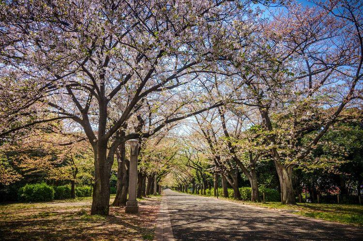 Japan Sakura Tree Park Citypark Springtime Park Lane Trees