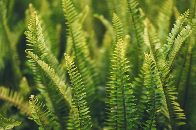 Beautiful Sword Fern or Fishbone Fern leaves. Growth Plant Green Color Leaf Fern Close-up Plant Part Nature Beauty In Nature No People Day Outdoors Focus On Foreground Tree Selective Focus Freshness Full Frame Backgrounds Sunlight Beauty Tropical Fishbone Flora Sword Growth