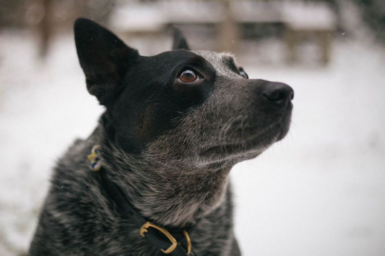 Close-up portrait of black dog in winter