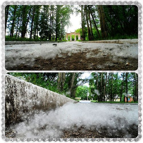 пух белое парк дорожка гуляю лето photorussia_daily photorussia