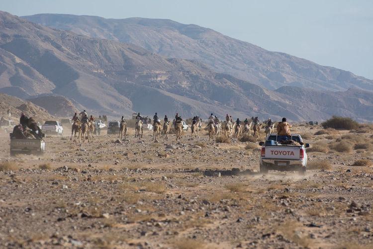 Camel Race in Wadi Zalaga South Sinai Bedouin Bedouin Tribes Bedouin Tribes Camel Camel Racing Egypt Kamel Sinai South Sinai Wadi Zalaga