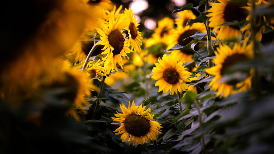 EyeEmNewHere Sunflower Beauty In Nature Black-eyed Susan Blooming Close-up Day Flora Flower Flower Head Fragility Freshness Growth Nature No People Outdoors Petal Plant Sonnenblume Spring Sunflower Yellow