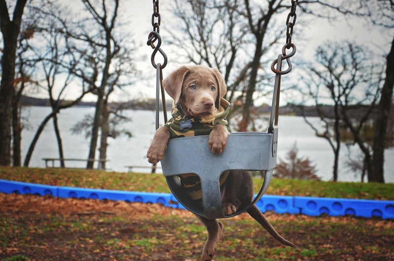 Chocolate labrador puppy on swing at park