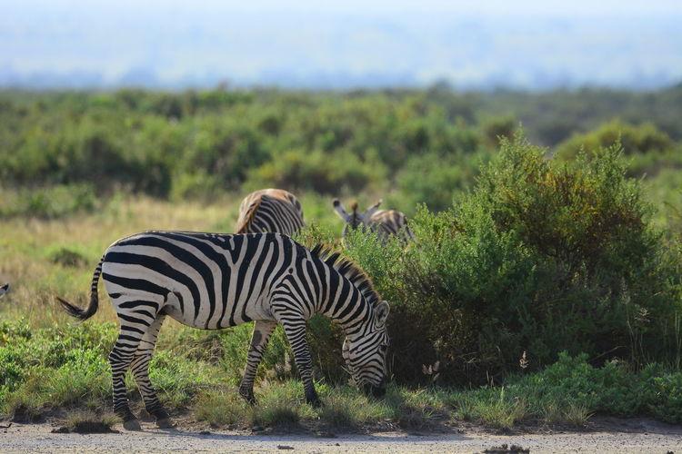 Zebras Grazing On Field