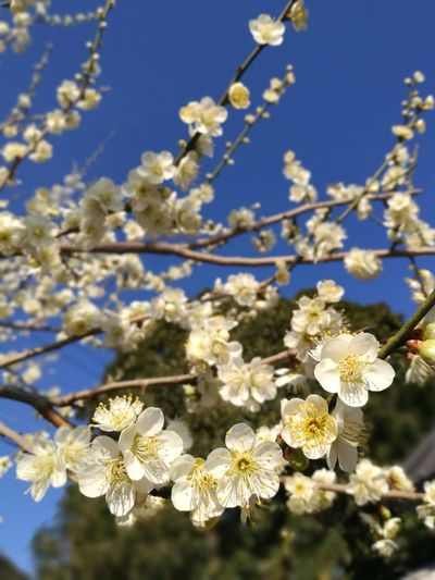Plum Ume Flower Blossom Fragility Botany Beauty In Nature Springtime Nature Blue Sky Branch Tree Plant Flower Head Day
