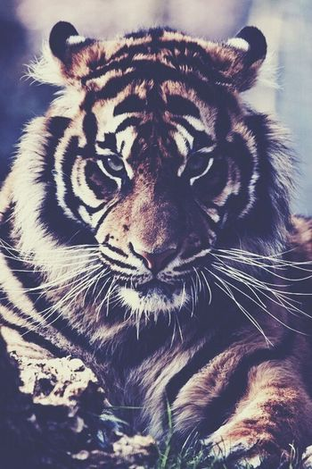 How cool :3 Tiger Animal