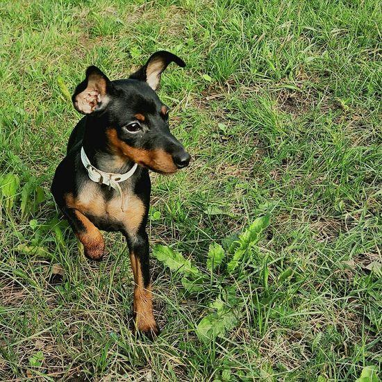 цвергпинчер Dog Соня Pet Grass